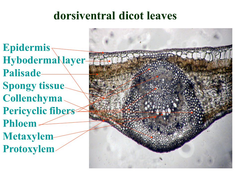 dorsiventral dicot leaves