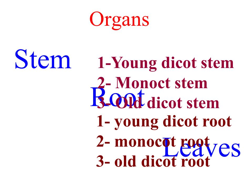Stem Root Leaves Organs 1-Young dicot stem 2- Monoct stem