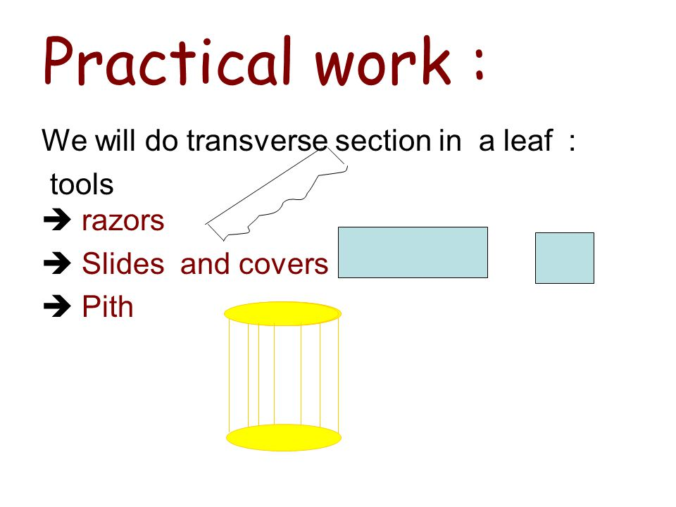 Practical work : We will do transverse section in a leaf :