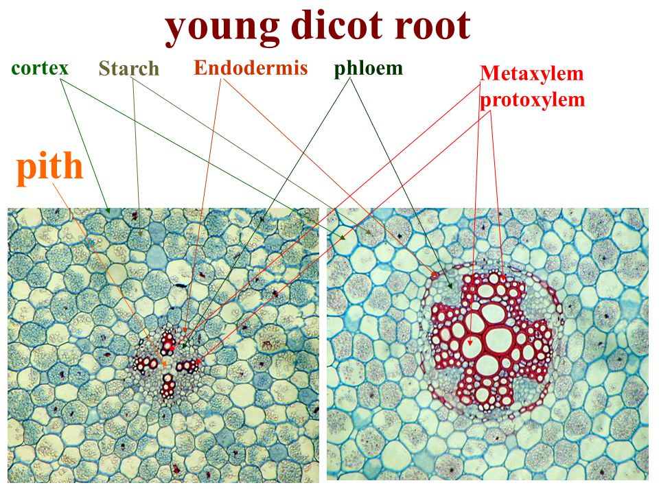 young dicot root pith cortex Starch Endodermis phloem Metaxylem