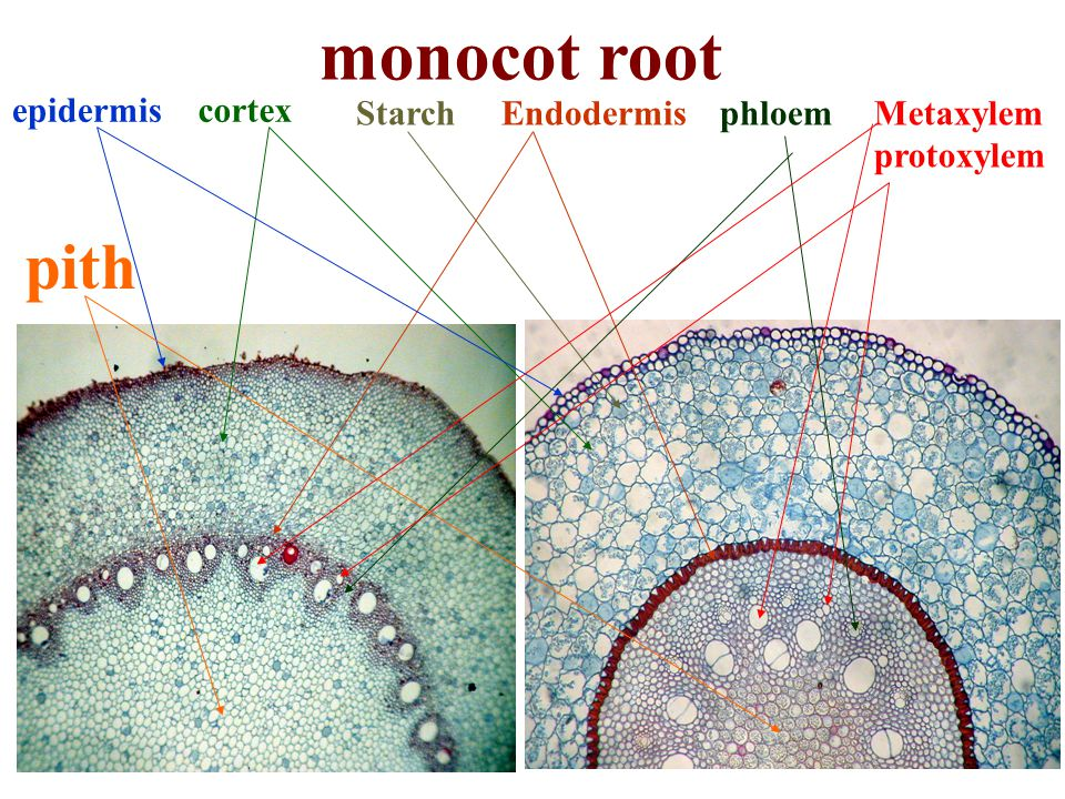 monocot root pith epidermis cortex Starch Endodermis phloem Metaxylem
