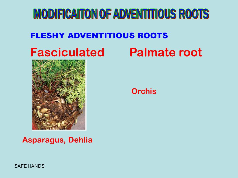 Fasciculated Palmate root MODIFICAITON OF ADVENTITIOUS ROOTS