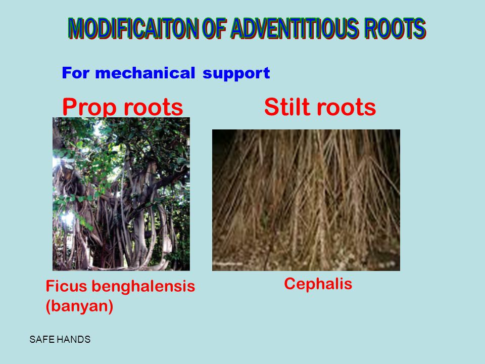 Prop roots Stilt roots MODIFICAITON OF ADVENTITIOUS ROOTS