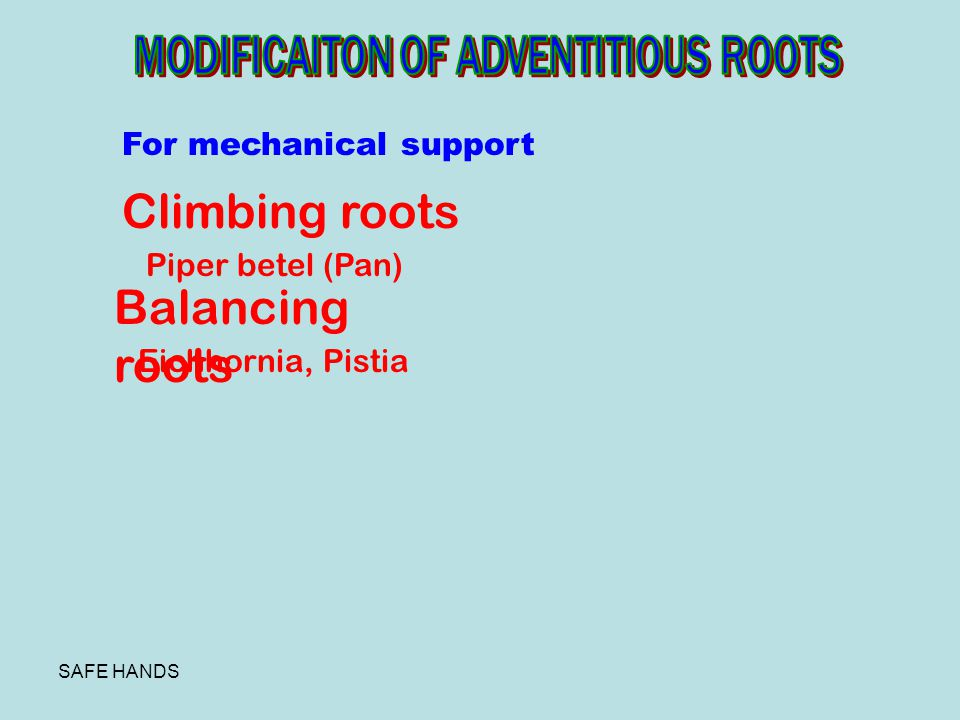 Climbing roots Balancing roots MODIFICAITON OF ADVENTITIOUS ROOTS