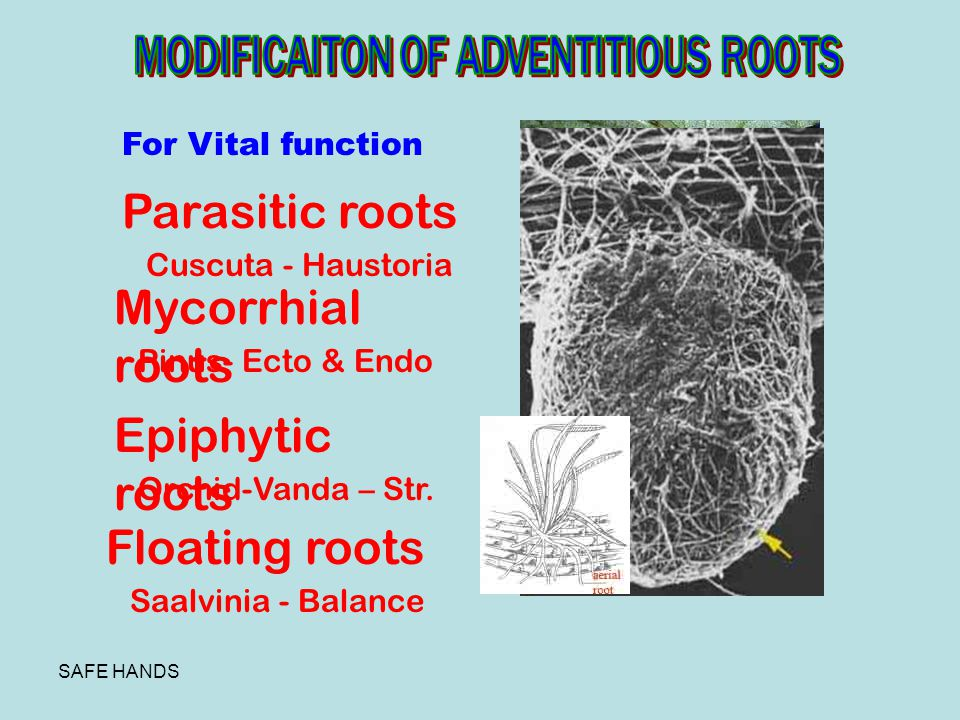 Parasitic roots Mycorrhial roots Epiphytic roots Floating roots
