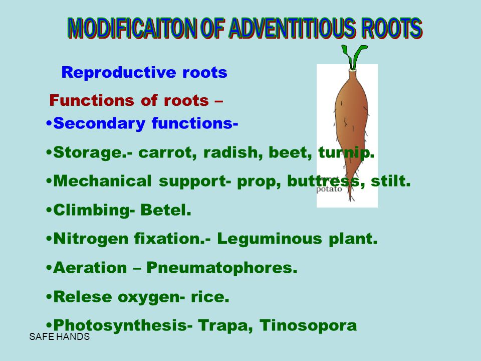 MODIFICAITON OF ADVENTITIOUS ROOTS