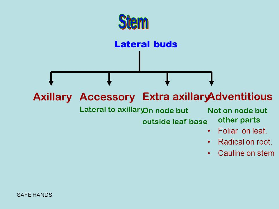 Stem Extra axillary Adventitious Axillary Accessory Lateral buds