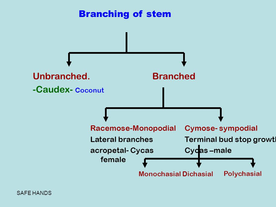 Branching of stem Unbranched. -Caudex- Coconut Branched