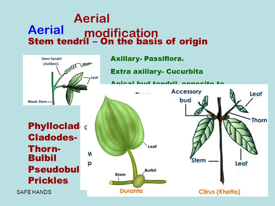 Aerial modification Aerial Stem tendril – On the basis of origin