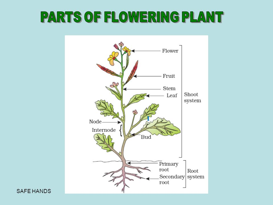 PARTS OF FLOWERING PLANT