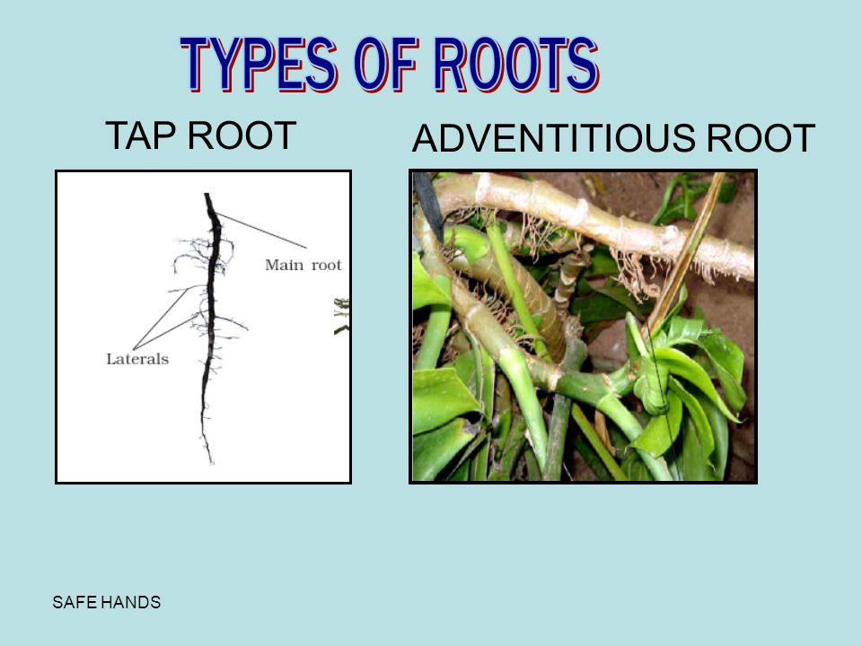 TYPES OF ROOTS TAP ROOT ADVENTITIOUS ROOT SAFE HANDS