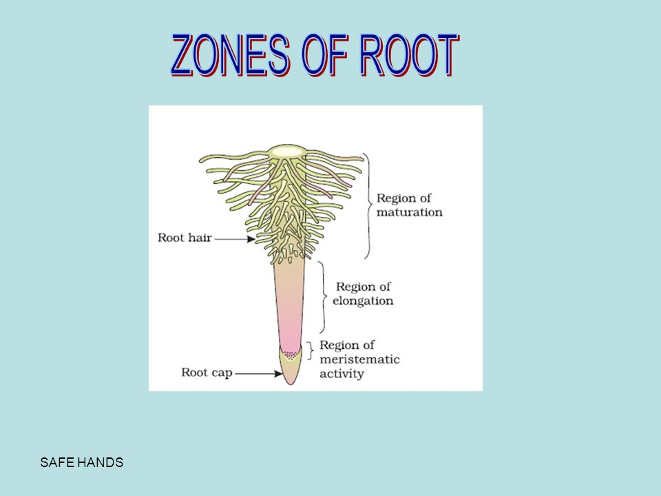 ZONES OF ROOT SAFE HANDS