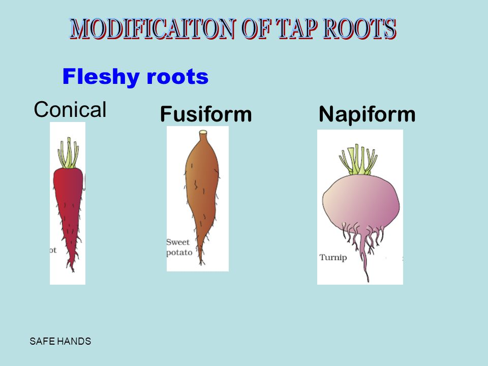 Fleshy roots Conical Fusiform Napiform MODIFICAITON OF TAP ROOTS
