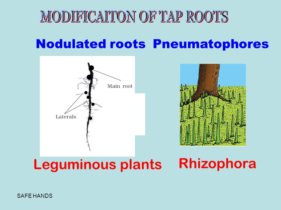 Rhizophora Leguminous plants Nodulated roots Pneumatophores