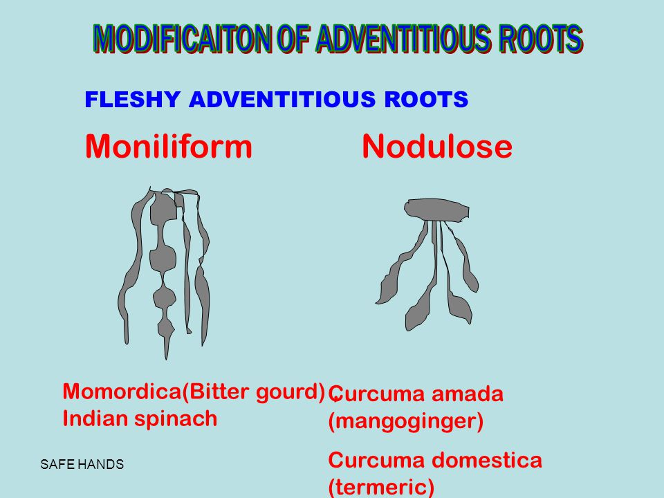 Moniliform Nodulose MODIFICAITON OF ADVENTITIOUS ROOTS