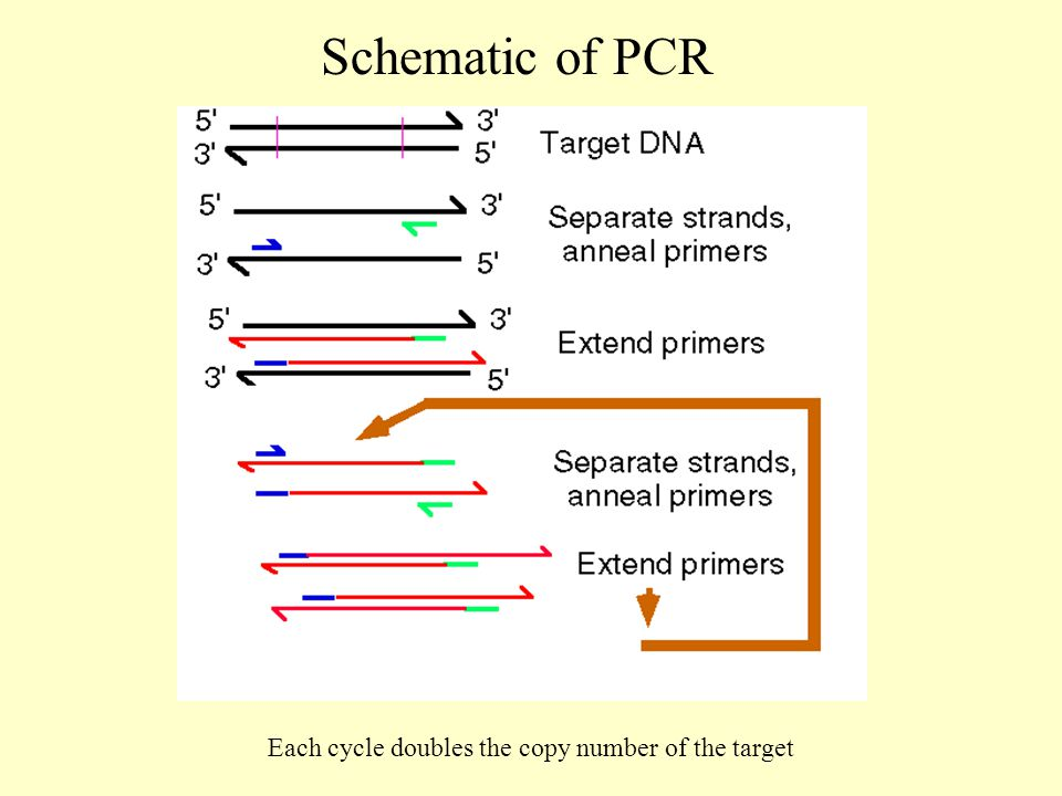 Schematic of PCR Each cycle doubles the copy number of the target