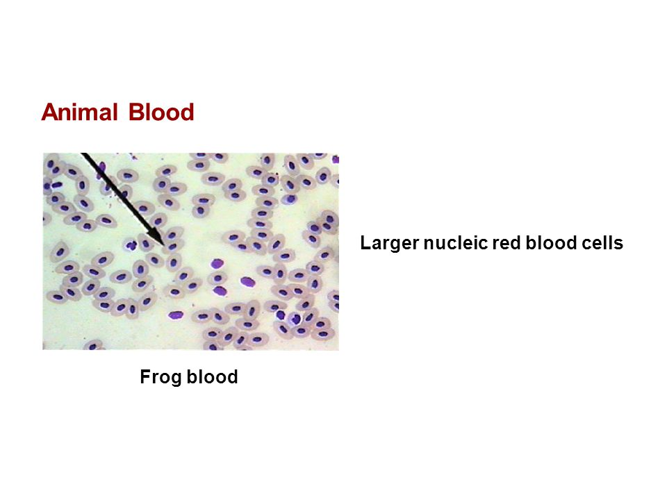 Animal Blood Larger nucleic red blood cells Frog blood