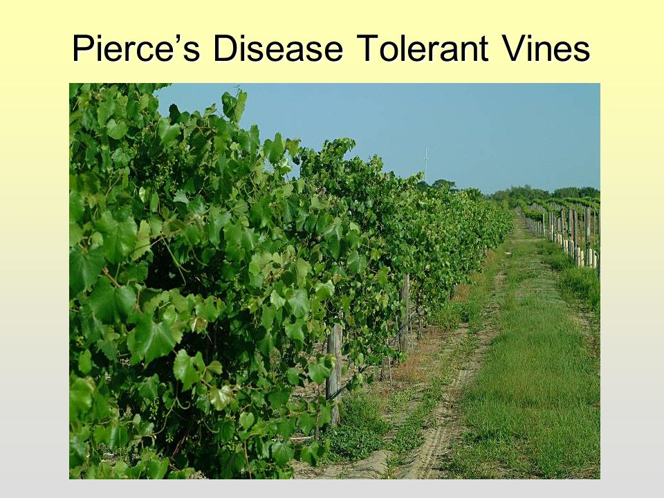 Pierce's Disease Tolerant Vines