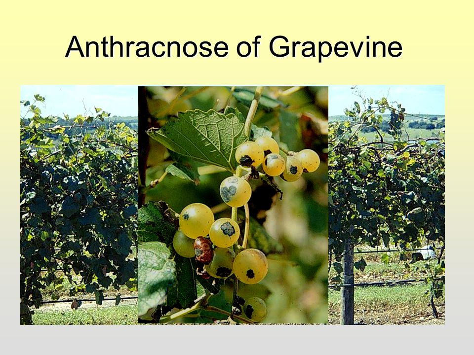 Anthracnose of Grapevine