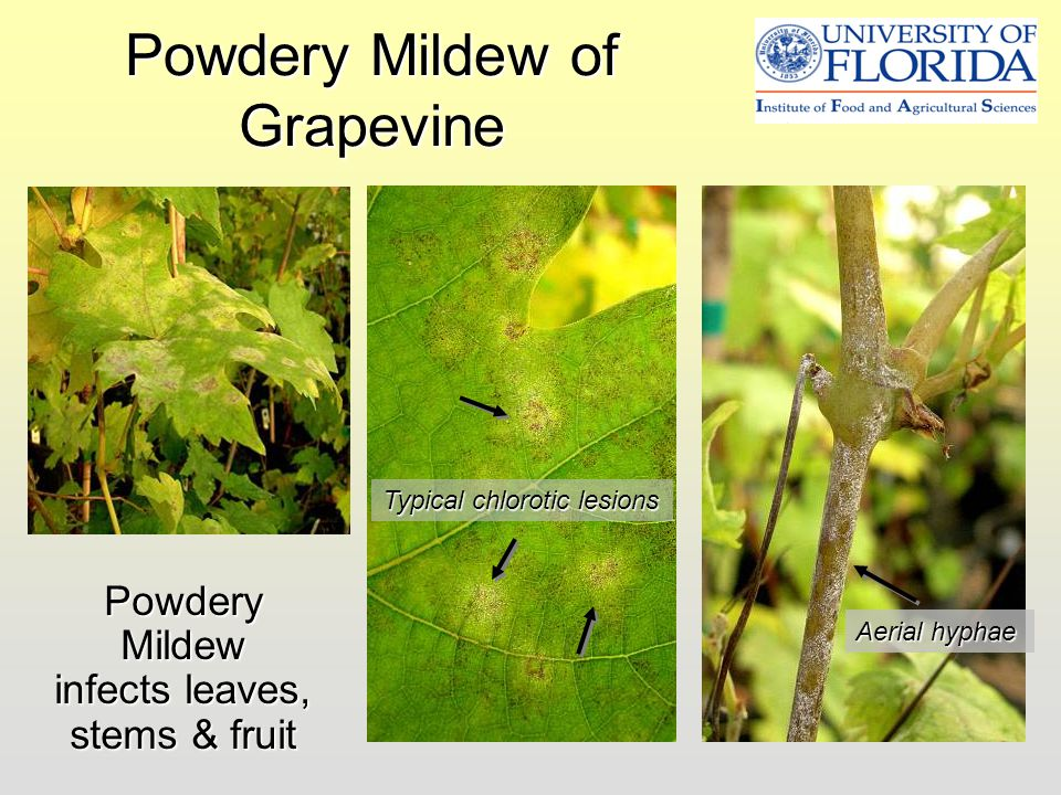 Powdery Mildew of Grapevine
