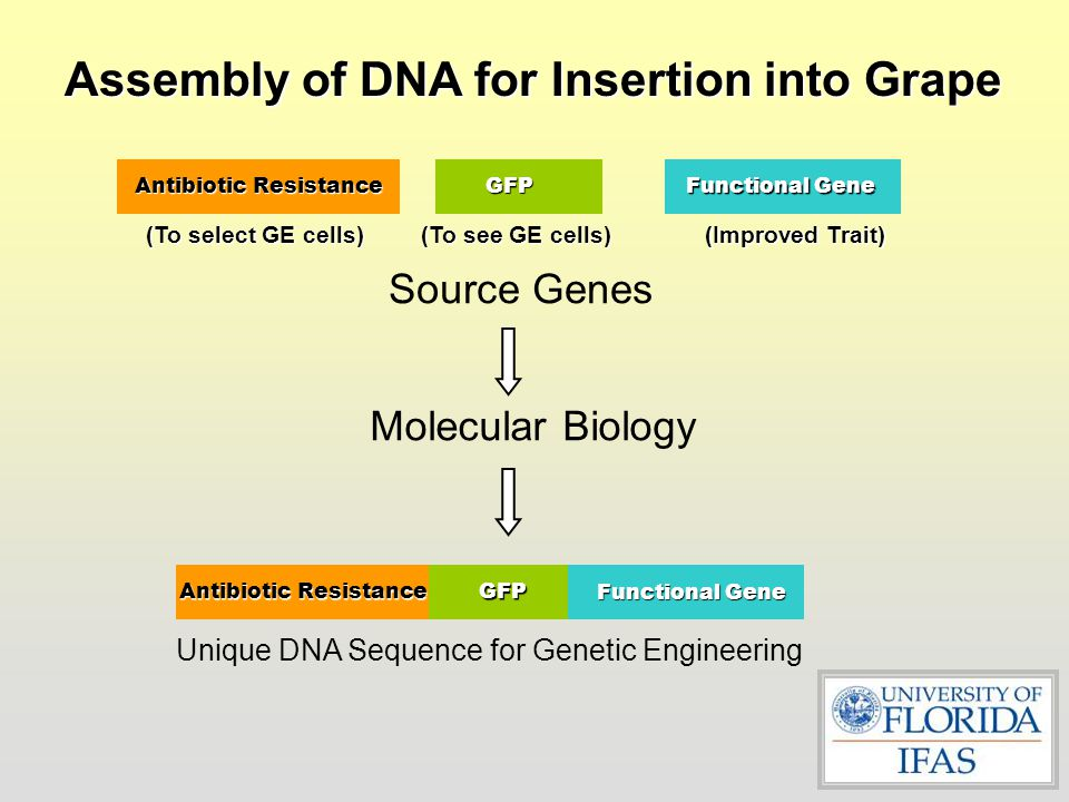 Assembly of DNA for Insertion into Grape
