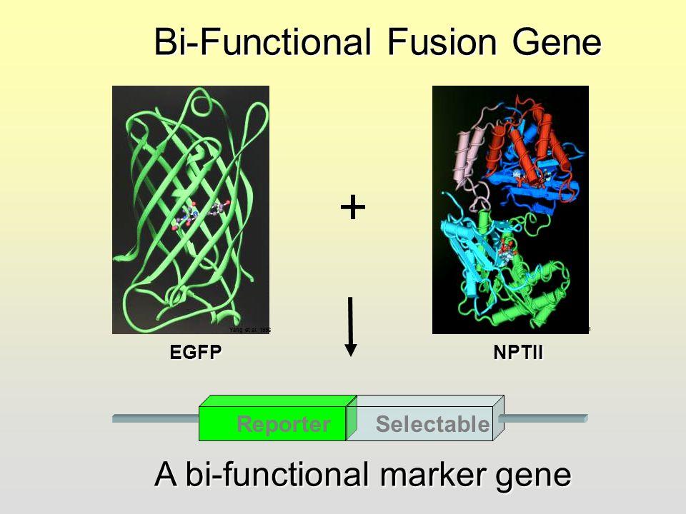 + Bi-Functional Fusion Gene A bi-functional marker gene Reporter
