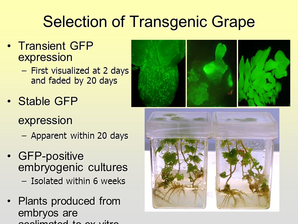 Selection of Transgenic Grape