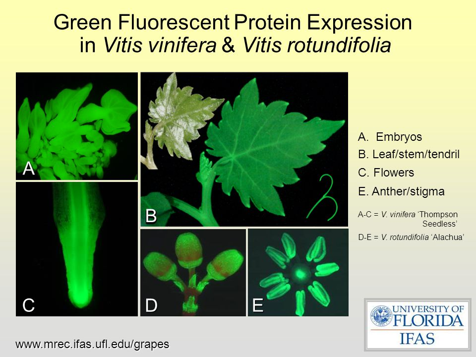 Green Fluorescent Protein Expression