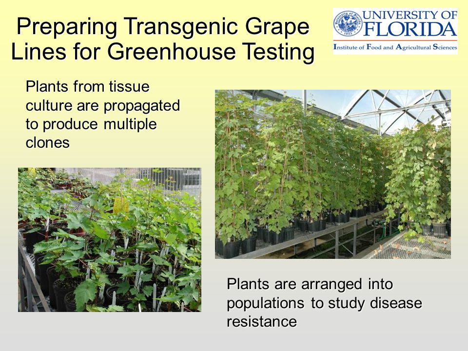 Preparing Transgenic Grape Lines for Greenhouse Testing