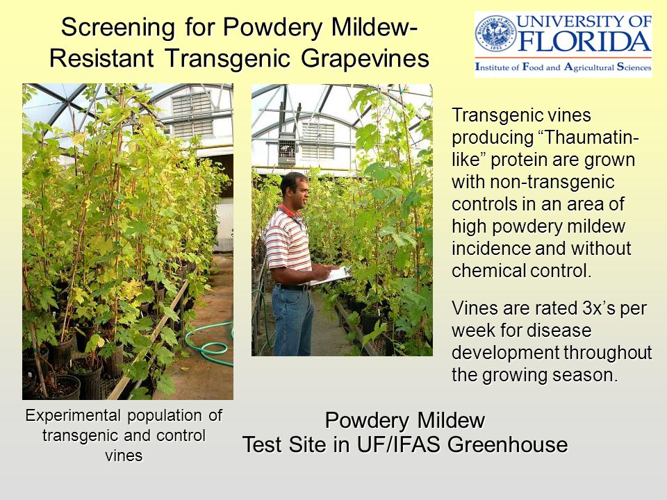 Screening for Powdery Mildew-Resistant Transgenic Grapevines
