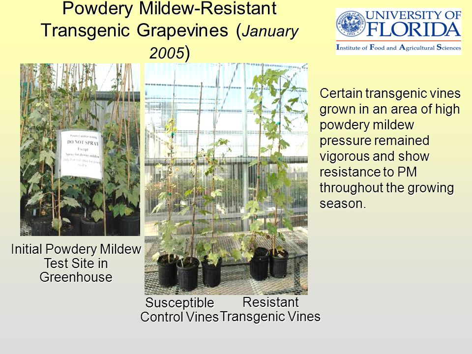 Powdery Mildew-Resistant Transgenic Grapevines (January 2005)