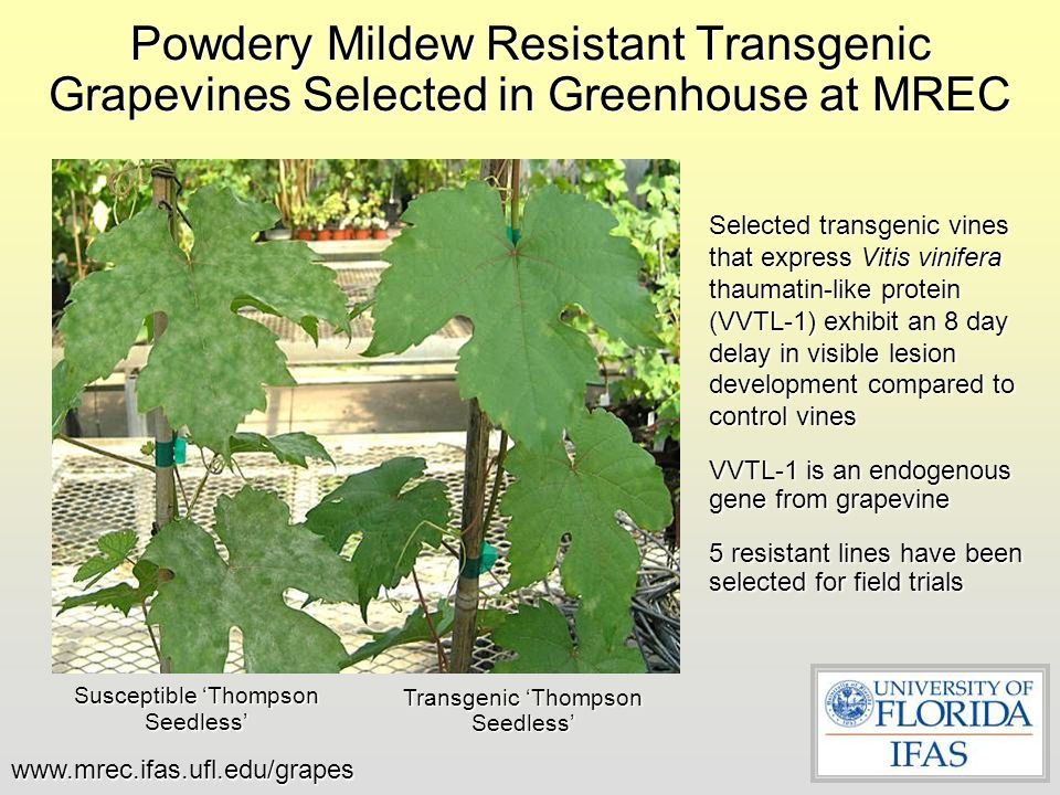 Powdery Mildew Resistant Transgenic Grapevines Selected in Greenhouse at MREC
