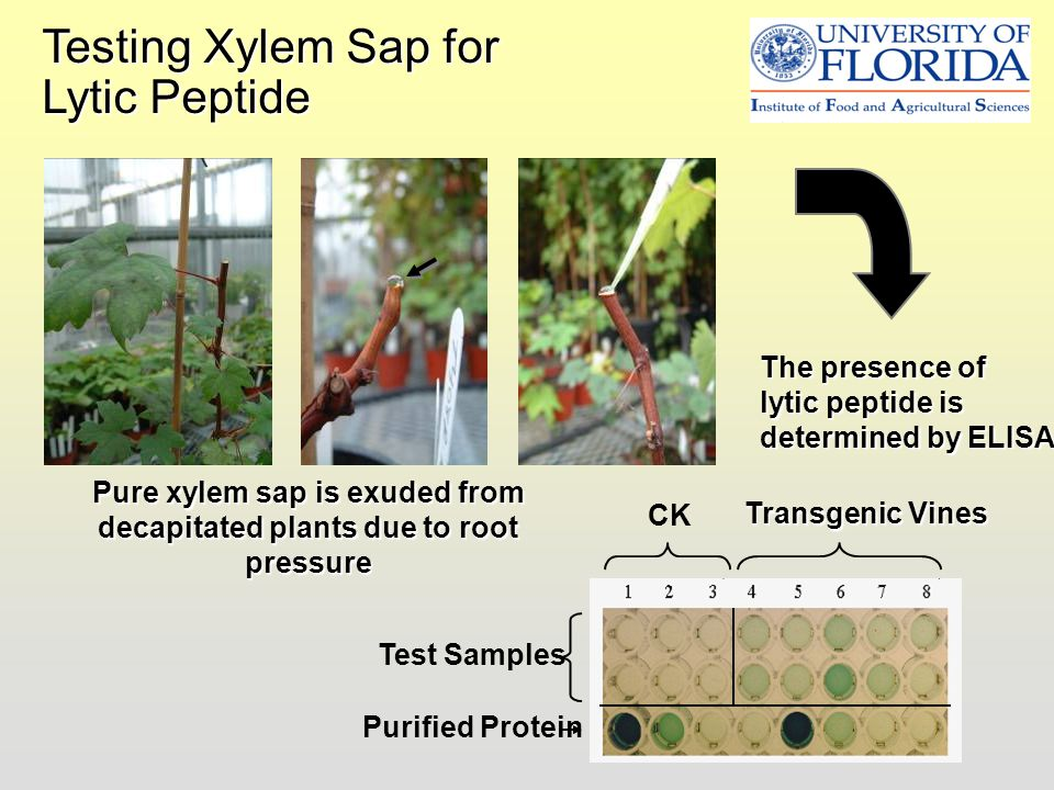 Pure xylem sap is exuded from decapitated plants due to root pressure