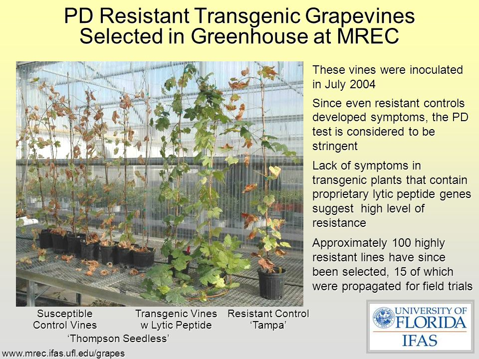 PD Resistant Transgenic Grapevines Selected in Greenhouse at MREC