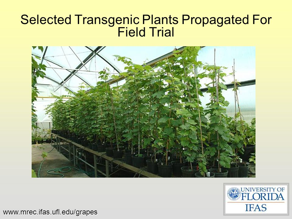 Selected Transgenic Plants Propagated For Field Trial