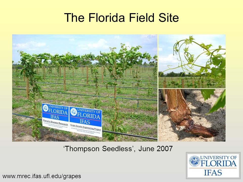 The Florida Field Site 'Thompson Seedless', June 2007