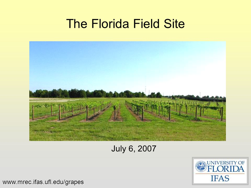 The Florida Field Site July 6, 2007 www.mrec.ifas.ufl.edu/grapes