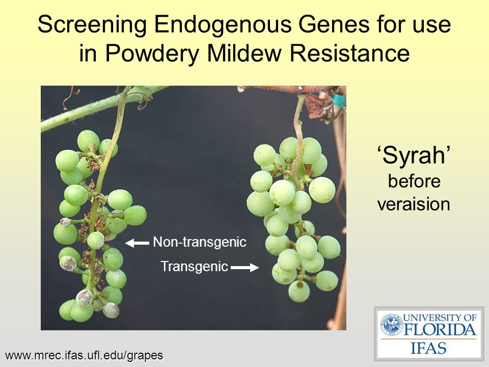 Screening Endogenous Genes for use in Powdery Mildew Resistance