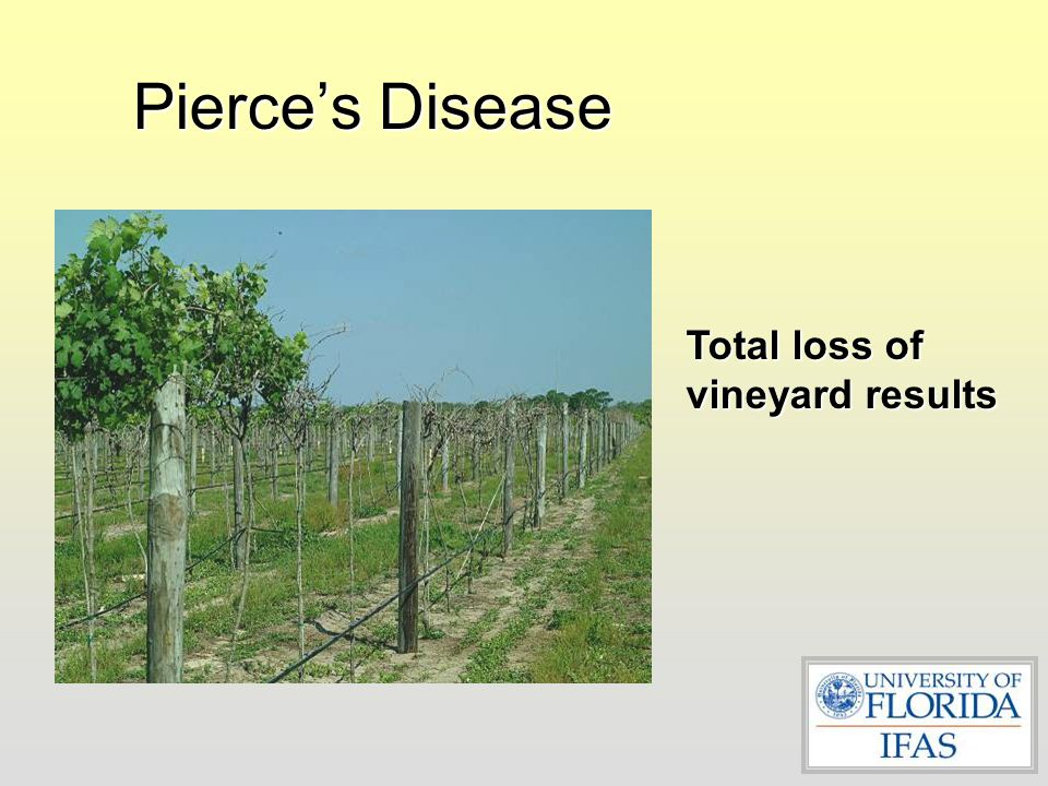 Pierce's Disease Total loss of vineyard results