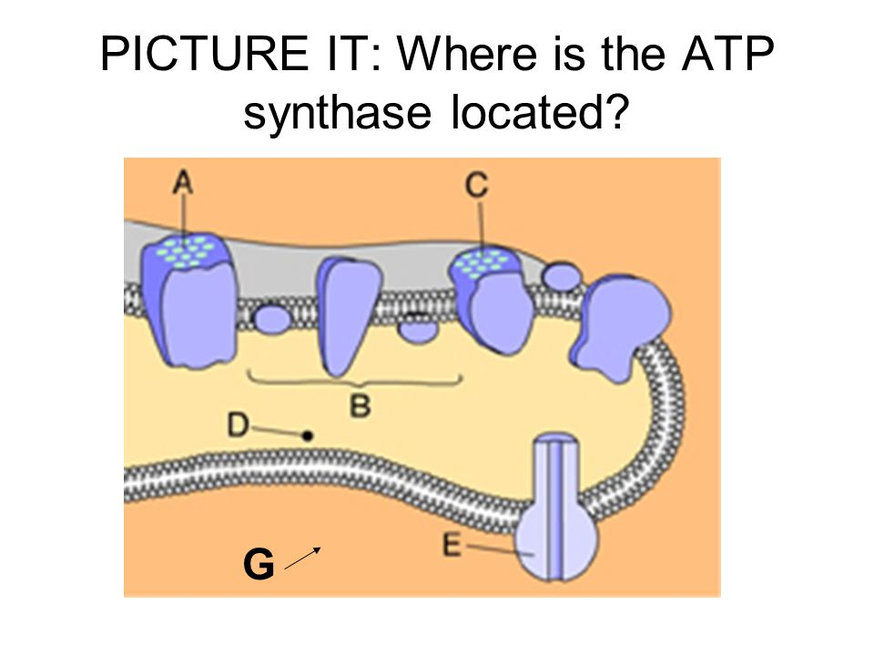 PICTURE IT: Where is the ATP synthase located