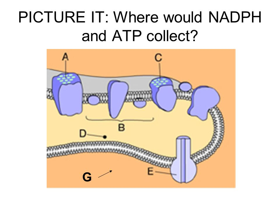 PICTURE IT: Where would NADPH and ATP collect