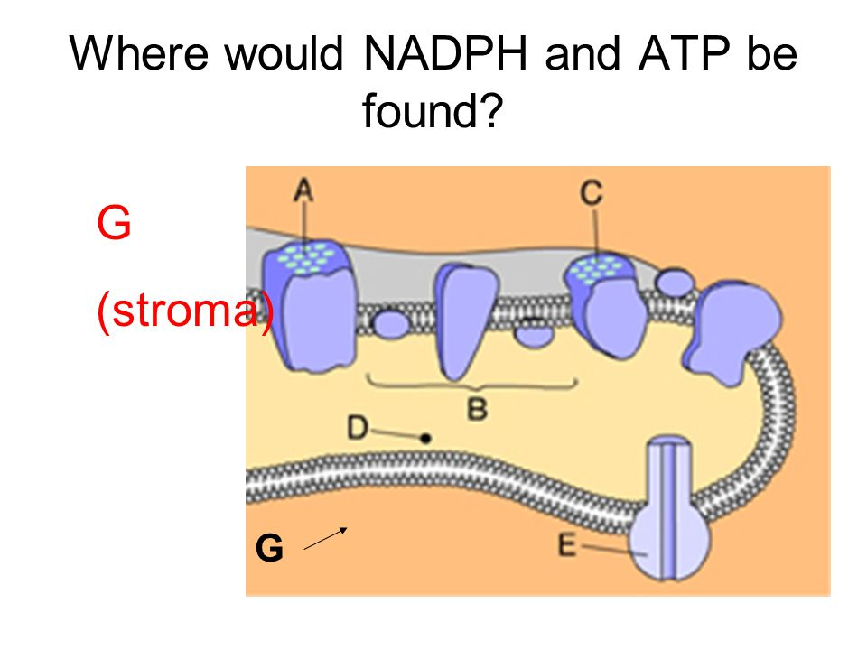 Where would NADPH and ATP be found