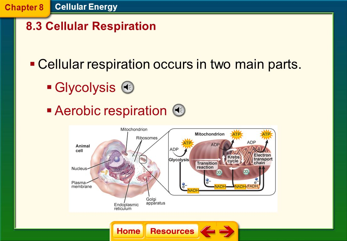 Cellular respiration occurs in two main parts.
