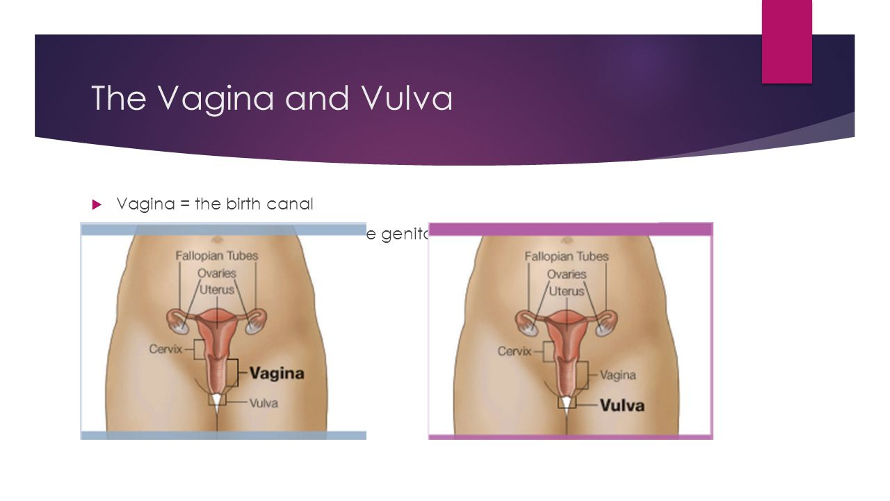 The Vagina and Vulva Vagina = the birth canal