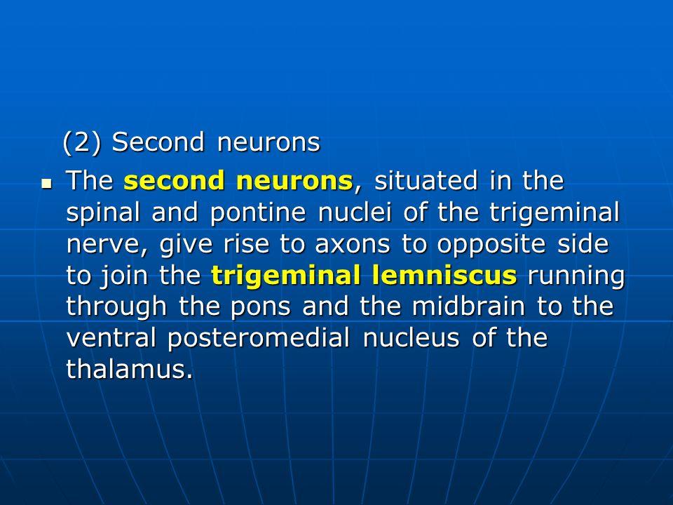 (2) Second neurons