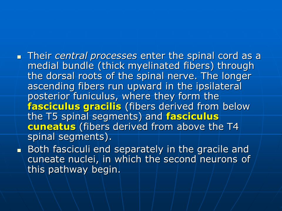 Their central processes enter the spinal cord as a medial bundle (thick myelinated fibers) through the dorsal roots of the spinal nerve. The longer ascending fibers run upward in the ipsilateral posterior funiculus, where they form the fasciculus gracilis (fibers derived from below the T5 spinal segments) and fasciculus cuneatus (fibers derived from above the T4 spinal segments).