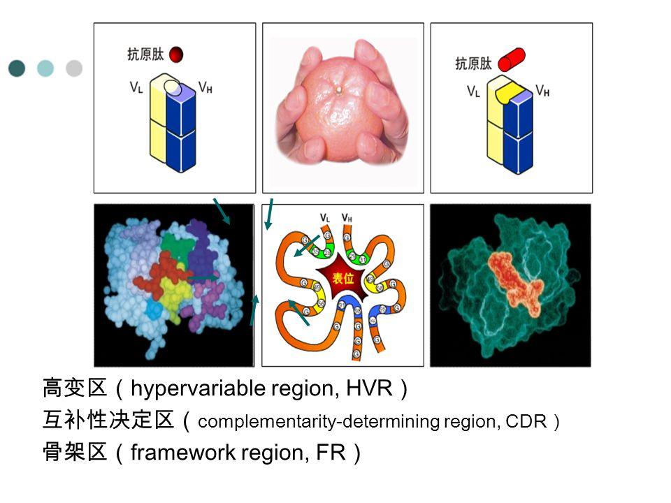 高变区(hypervariable region, HVR)