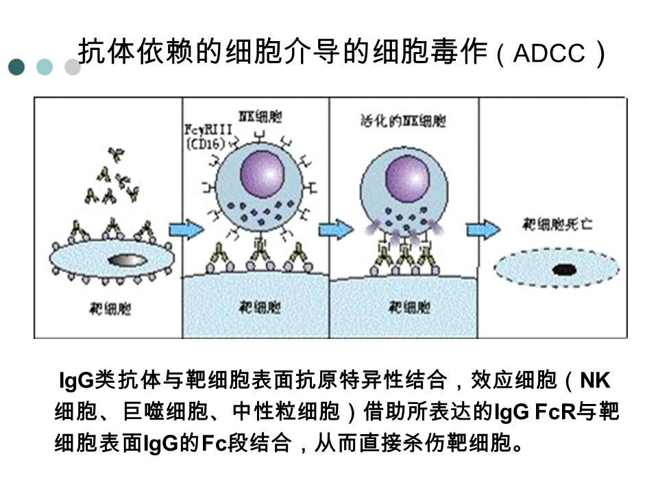 抗体依赖的细胞介导的细胞毒作(ADCC)
