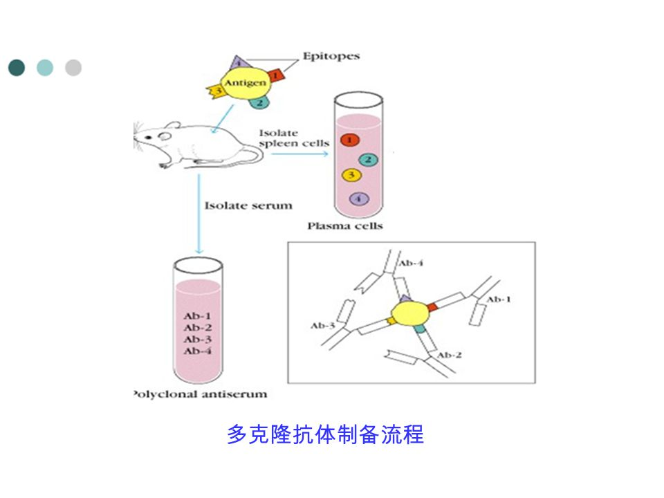 Hybridized cells 多克隆抗体制备流程