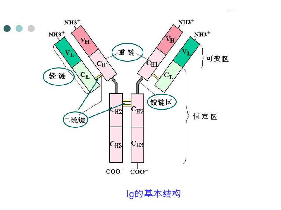 Ig的基本结构
